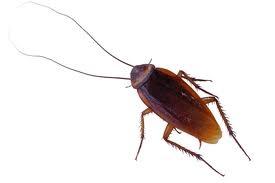 Kakkerlakken, Pissenbedden